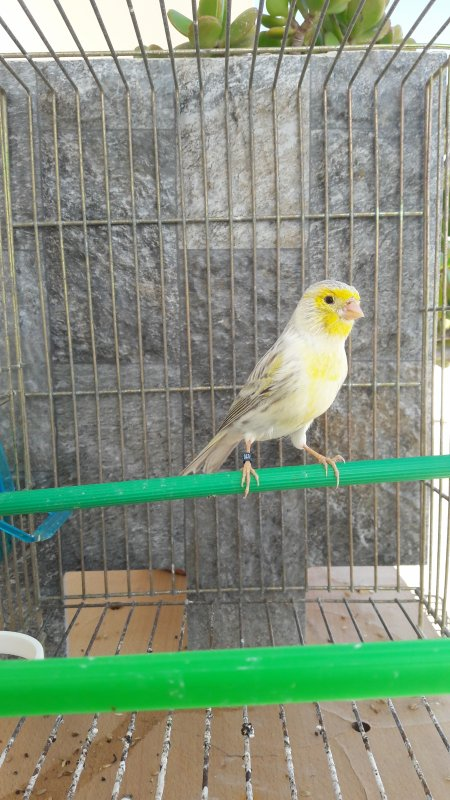 Jeune agate topaze jaune mosaique
