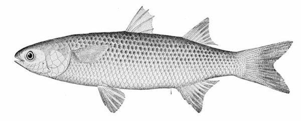 Mulet, le poisson le plus fréquent dans les étiers