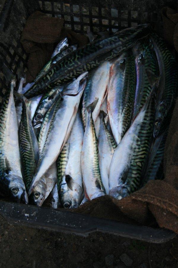 maquerau retour de pêche en mer