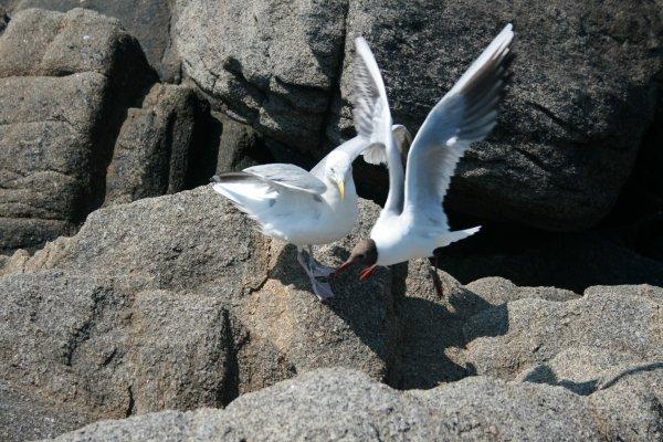 Combat innégal entre un goéland et une mouette