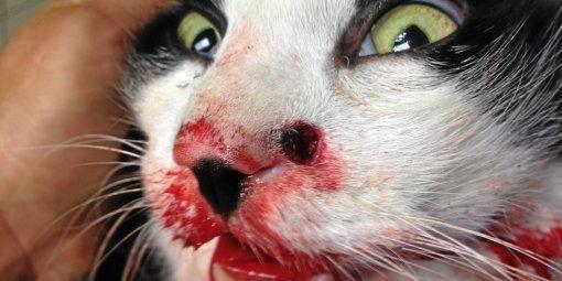 Près d'Alès à Salindres: Une balle lui fracasse la mâchoire, le chat est entre la vie et la mort