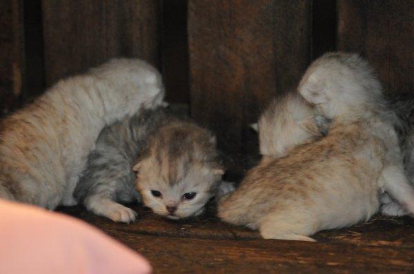 Naissance ce 25 avril 2012 de 5 petits chatons .....