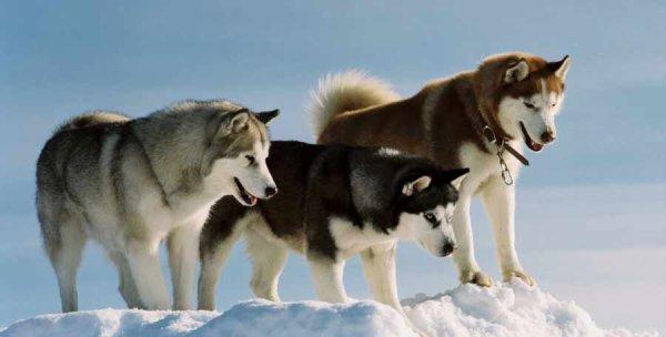 Le Husky de Sibérie
