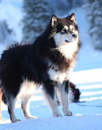 Chien Finnois De Laponie Lapinkoira Bienvenu Sur Le Blog