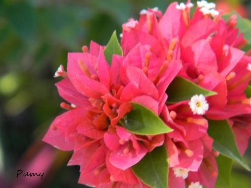 Magnifique fleur Dominicaine