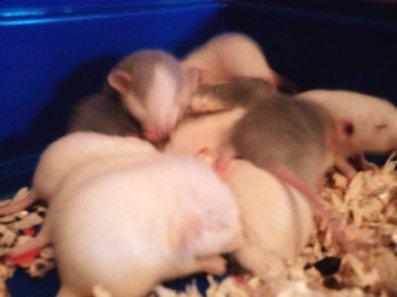 Un rat c'est bien, Deux rats c'est mieux !