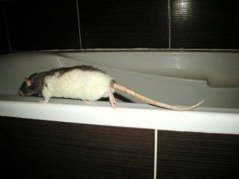 Toujours des rats.