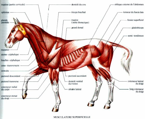 photo cheval muscle