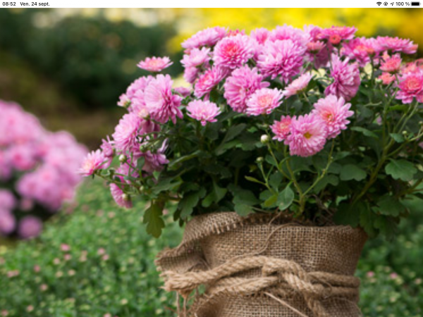 Les chrysanthèmes…….fleurs de l automne…..très belles couleurs……bon vendredi……bisous de Claudie