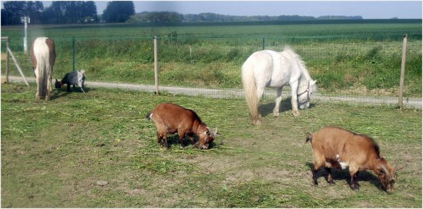 séance de longe, soleil, nenette,chèvres