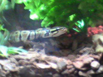11/12/10 Mon python royal (régius).