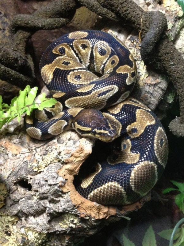 Python royal qui a maintenant 2 ans.
