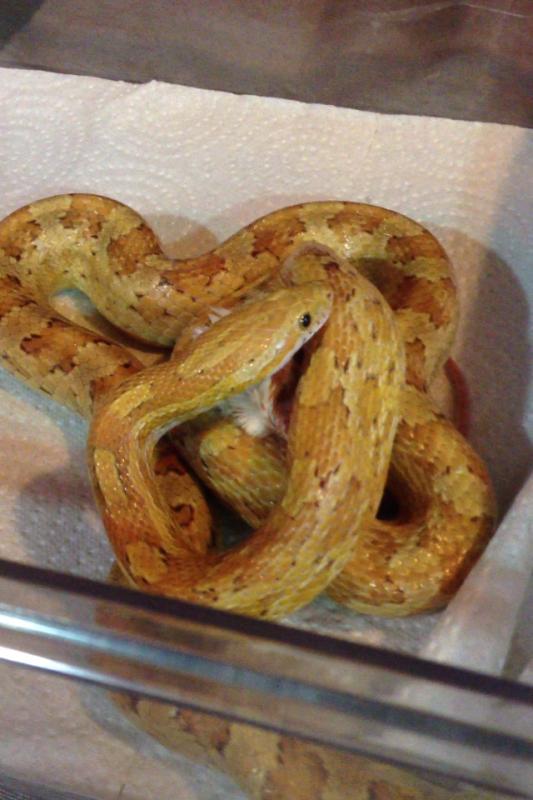 Femelle Guttata de 2 ans et demi.