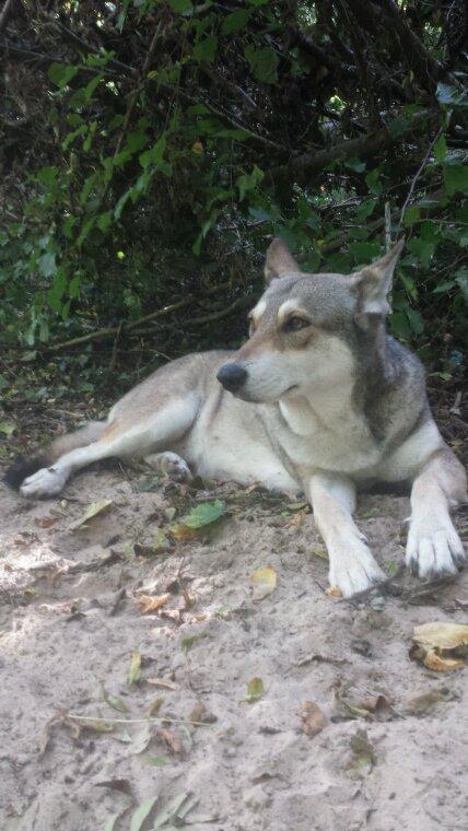Chien ou loup?