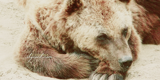 L'enfers des ours en Chine.