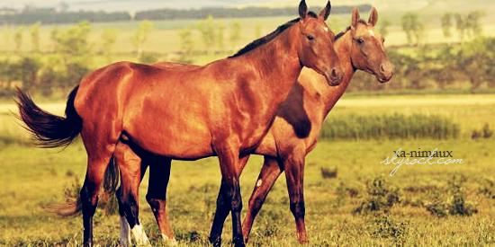 Les combats de chevaux.