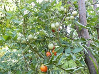 .Les tomates commencent a mûrir