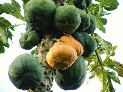 """Des papayers de mon jardin,ou """"Arbre a pharmacie""""C'est une baie savoureuse, généreuse en saveurs complexes, ovoïde ou arrondie, de 21-31 cm de long, à la pulpe comestible, pouvant peser à peu près un kilogramme (et parfois jusqu'à 5 kg) et renfermant de nombreuses graines noires entourées d'un mucilage. A maturité, les papayes sont vert jaunâtre, avec une chair juteuse, jaune orangé."""