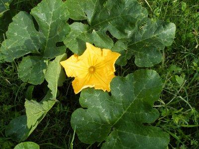 """Giraumon en fleur,""""bientot la bonne soupe"""" """" Le « giraumont » est également admise. Étymologiquement, le terme dérive de jirumum, emprunté à la langue tupi qui désignait une sorte de courge cultivée dans les îles des Antilles par les indiens Caraïbes. Il est attesté dès l'an 1614 sous la forme giromon."""