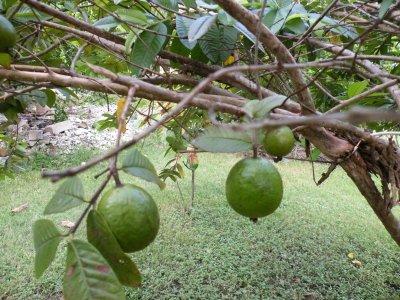 petite récolte de goyaves,La goyave est le fruit tropical du goyavier, de la famille des Myrtacées. C'est un arbre de taille moyenne qui pousse dans les régions tropicales d'Amérique et d'Afrique et qui peut atteindre 8 m de hauteur. Le fruit est cultivé depuis plus de 2 000 ans.