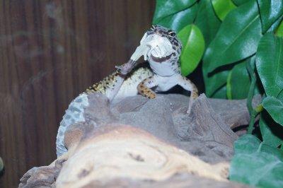 Eublepharis Macularius (Gecko Léopard) - Scyanure