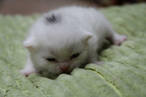 Ispahan mâle blanc à réservé né le 29.09.2013