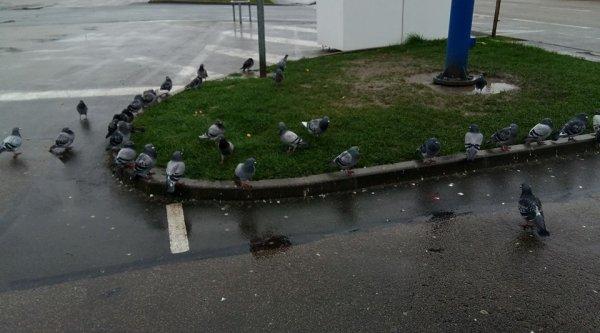 Voilà pendant ma balade je suis tombé sur une réunion de pigeons en pleine élection présidentielle eux aussi vote lol