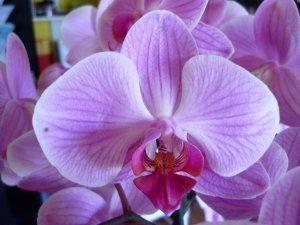 Ma collection, !es orchidées...