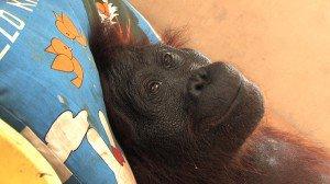 GREEN       ou l'histoire de la disparition des orangs-outans qui précéda celle des êtres humains de la planète terre