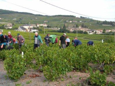 Vendange 2010 en Beaujolais