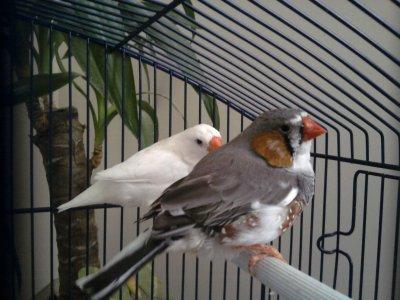 couple panaché /séllé , blanc x blanc /séllé , panaché