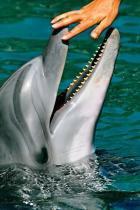 la merveille  le dauphin