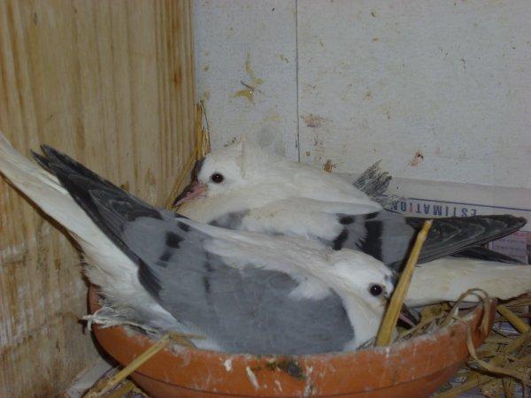jeunes pigeons de saxe à ailes colorées
