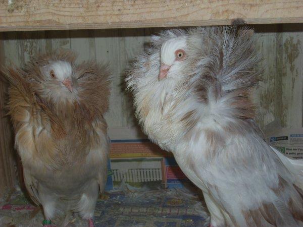 autre couple de capucins anglais