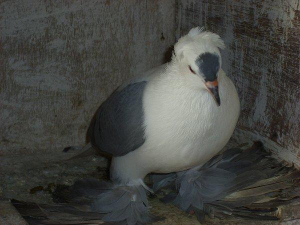 jeune pigeon de saxe à ailes colorées 2010