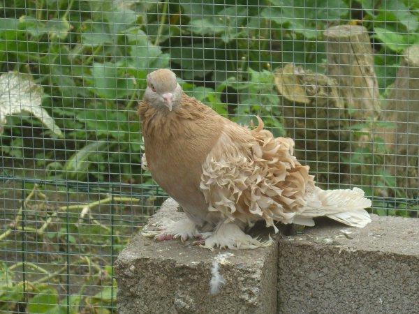 pigeon frisé hongrois femelle 2009