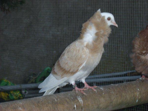 jeune capucin hollandais 2010