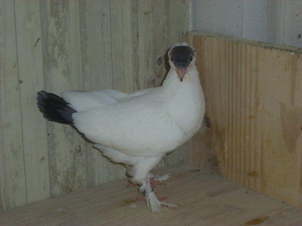 jeune culbutant krymka 2010