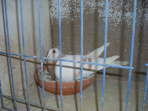 male gier agate 2009