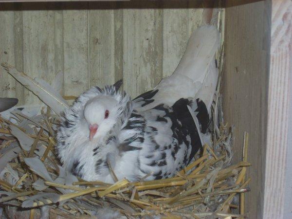 femelle capucin hollandais 2009 qui couve