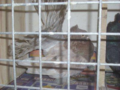 les 4 nouveaux queues de paon indiens arrivés ce matin