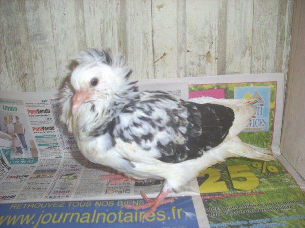 jeune capucin hollandais 2011