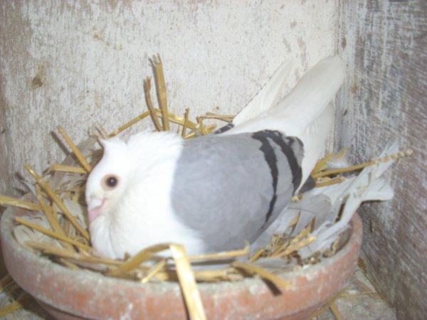 femelle smerle des flandres bleue barrée qui couve
