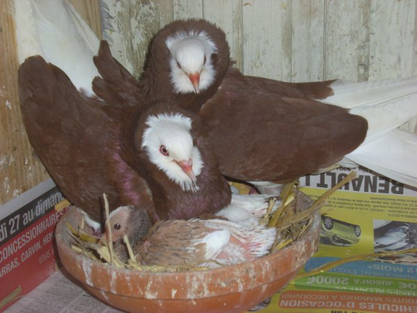 famille capucins hollandais rouges