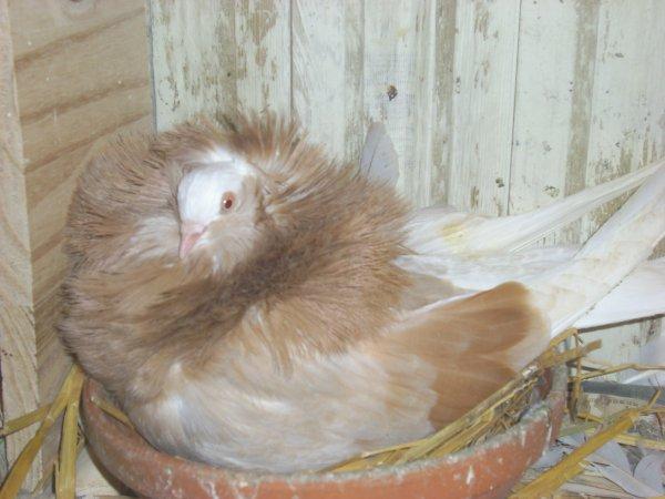 femelle capucin anglais jaune cendrée barée qui couve