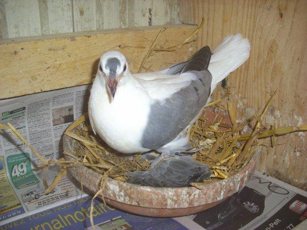 jeune pigeon de saxe à ailes colorées bleu barré 2011