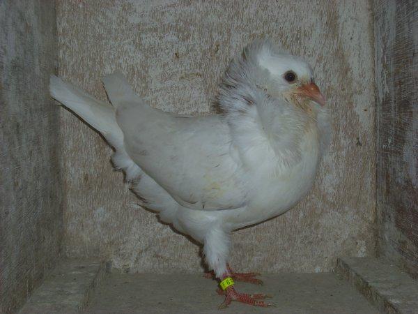jeune capucin hollandais blanc 2011