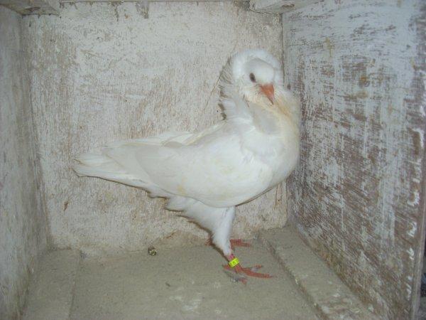 autre jeune capucin hollandais blanc 2011