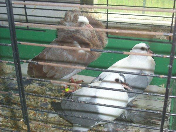 jeunes capucin anglais et pigeons de saxe à ailes coloréées 2011