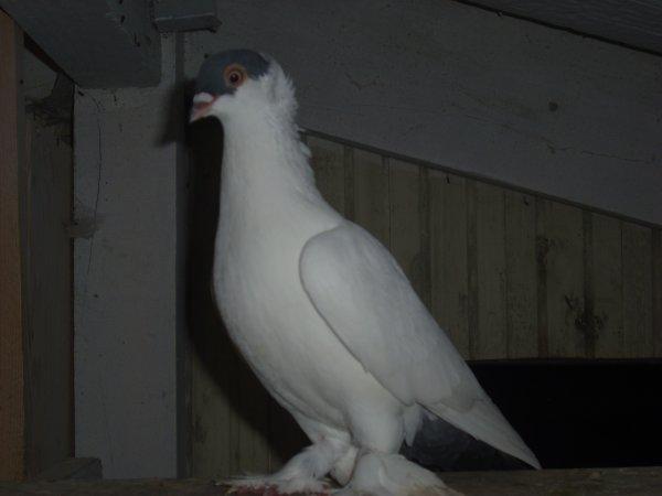 culbutant krymka bleu 2011